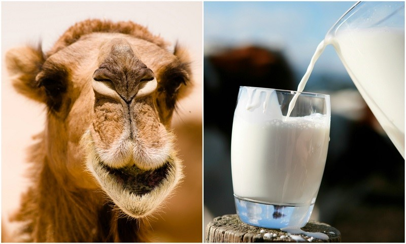خواص شیر شتر برای افراد دیابتی